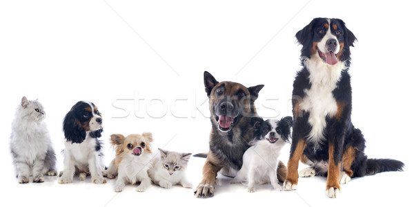 dogs and cats Stock photo © cynoclub