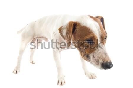 Kínai kutya fehér bőr játék játszik Stock fotó © cynoclub