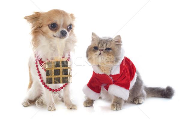 котенка экзотический короткошерстная собака кошки студию Сток-фото © cynoclub