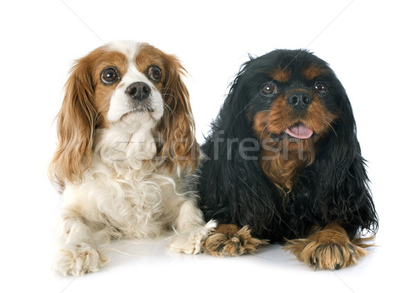 two cavalier king charles Stock photo © cynoclub