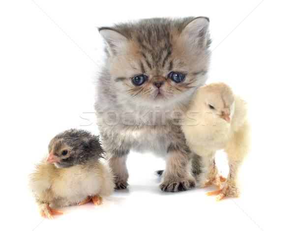 kitten exotic shorthair and chick Stock photo © cynoclub