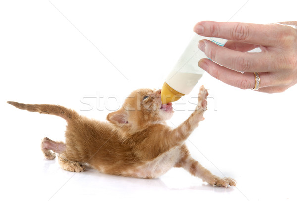 Gingembre chaton jeunes blanche main chat Photo stock © cynoclub