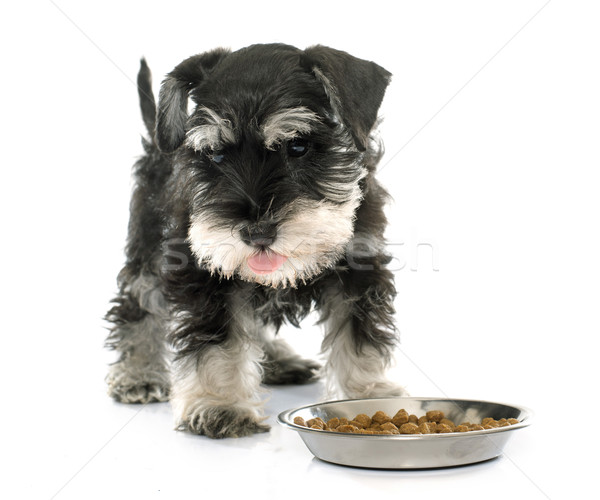 Manger chiot miniature schnauzer blanche alimentaire Photo stock © cynoclub