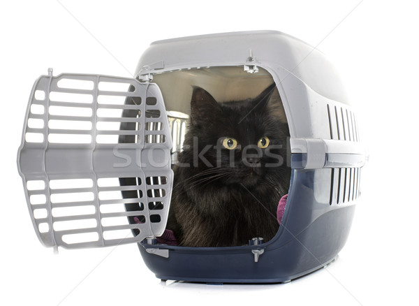 large black cat in kennel Stock photo © cynoclub