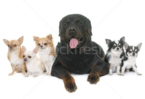 Rottweiler groep studio huisdier volwassen Stockfoto © cynoclub