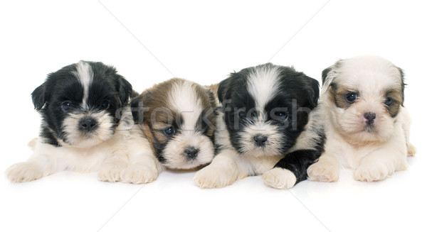puppies shih tzu Stock photo © cynoclub