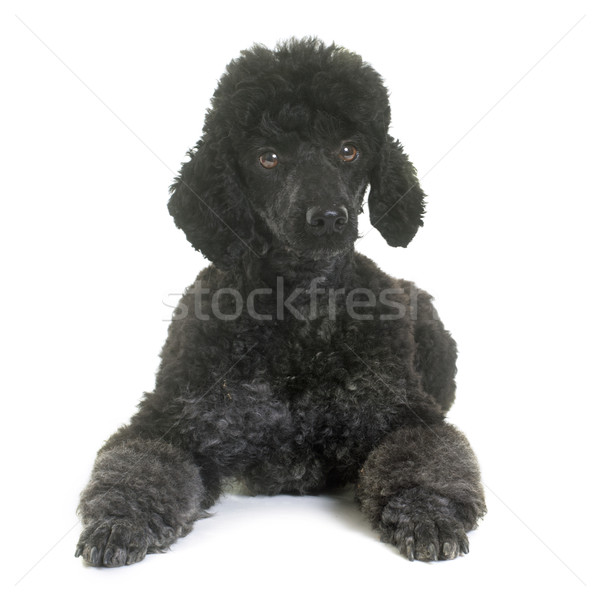 black poodle in studio Stock photo © cynoclub