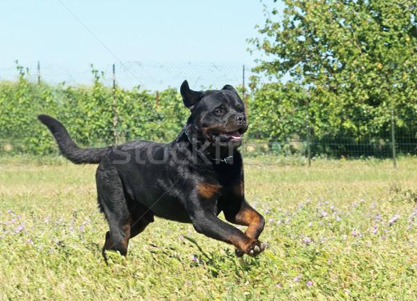 Courir rottweiler domaine liberté animaux Photo stock © cynoclub