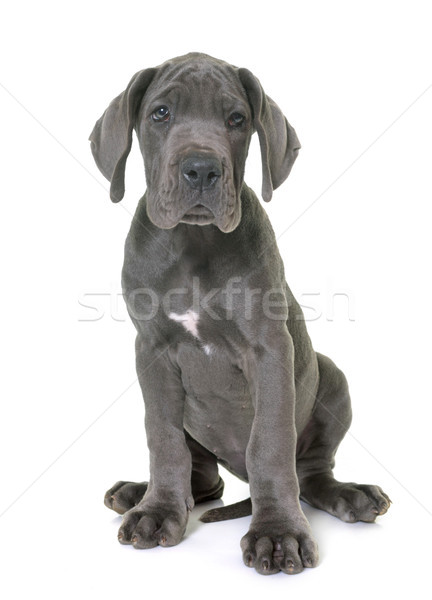 puppy great dane Stock photo © cynoclub
