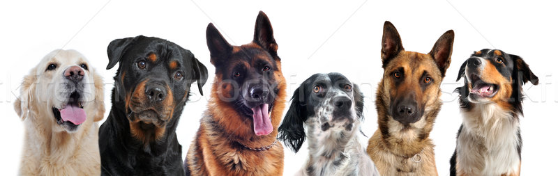 dogs Stock photo © cynoclub