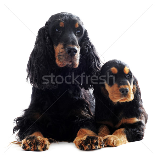 puppy and adult english cocker Stock photo © cynoclub