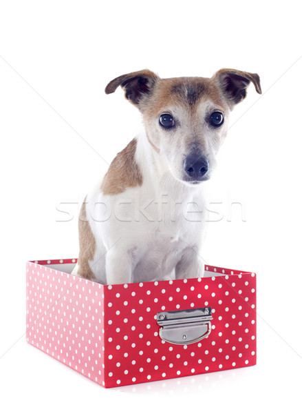 jack russel terrier in a box Stock photo © cynoclub
