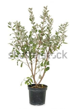 Salvia microphylla Stock photo © cynoclub