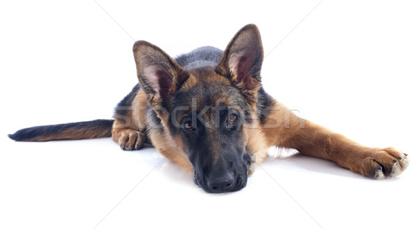 Сток-фото: щенков · пастух · портрет · белый · собака