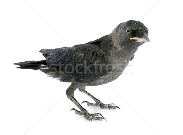 Stock photo: Western jackdaw