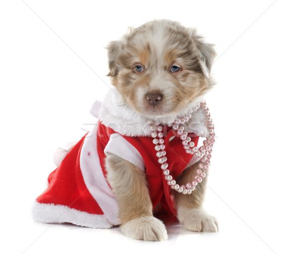 dressed puppy australian shepherd Stock photo © cynoclub