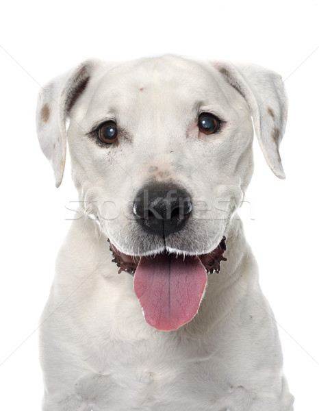 old american staffordshire terrier Stock photo © cynoclub