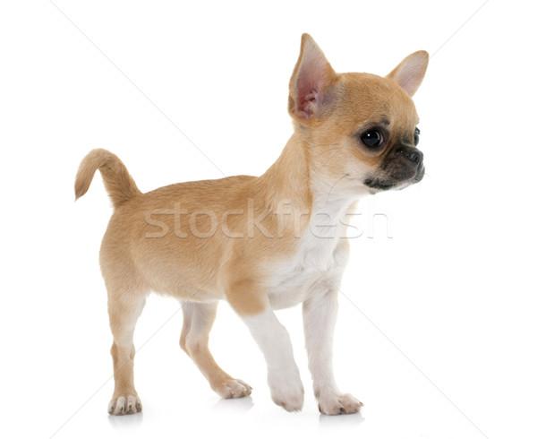 ストックフォト: 子犬 · ショートヘア · 犬 · ペット