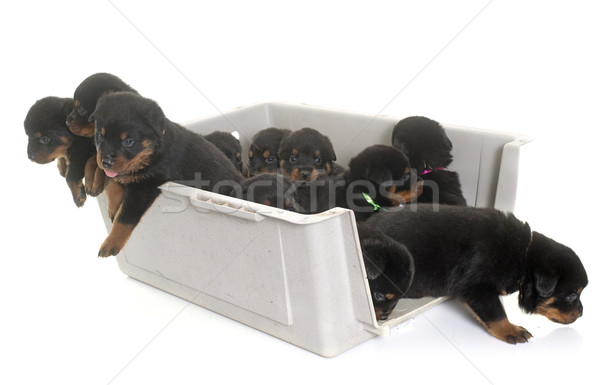 young puppies rottweiler in kennel Stock photo © cynoclub