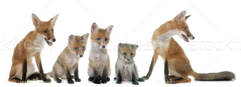 Fox семьи студию белый матери группа Сток-фото © cynoclub