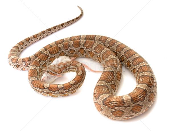 Kukorica kígyó eszik egér fehér Stock fotó © cynoclub