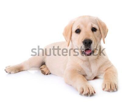 Faminto cachorro labrador retriever branco cão jovem Foto stock © cynoclub