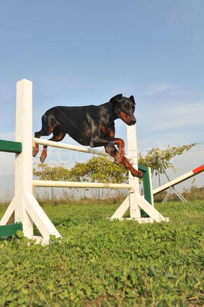 ドーベルマン犬 アジリティ ジャンプ 訓練 空 ストックフォト © cynoclub