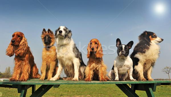 little dogs Stock photo © cynoclub