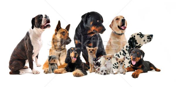 Сток-фото: группа · собаки · мало · большой · белый
