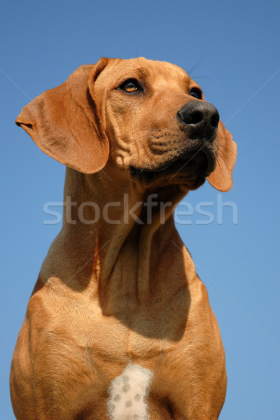 rhodesian ridgeback Stock photo © cynoclub