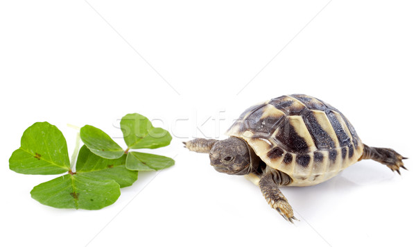 young Tortoise and trefoil Stock photo © cynoclub