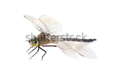 hawker dragonfly Stock photo © cynoclub