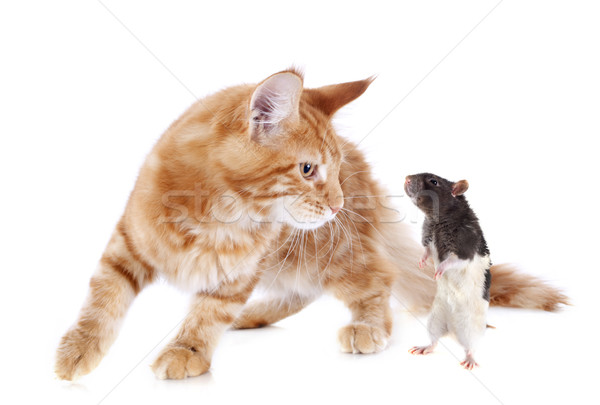 maine coon kitten and rat Stock photo © cynoclub