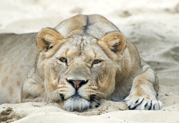 lioness Stock photo © cynoclub