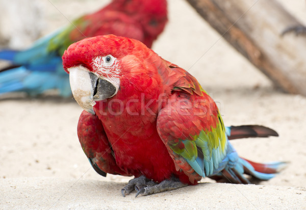 Scarlet Macaw Parrot Stock photo © cynoclub