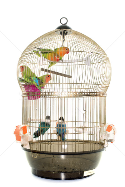 cage with lovebird Stock photo © cynoclub
