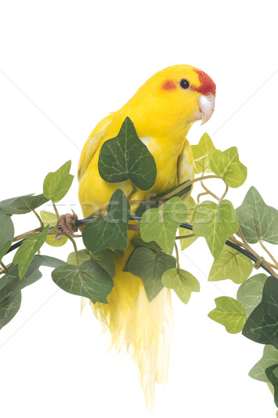 yellow kakariki in studio Stock photo © cynoclub