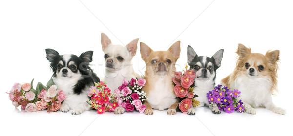 グループ 動物 子犬 演奏 孤立した 白地 ストックフォト © cynoclub