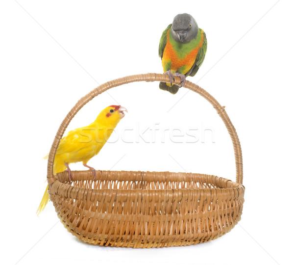 Senegal papagaio estúdio pássaro pena cesta Foto stock © cynoclub