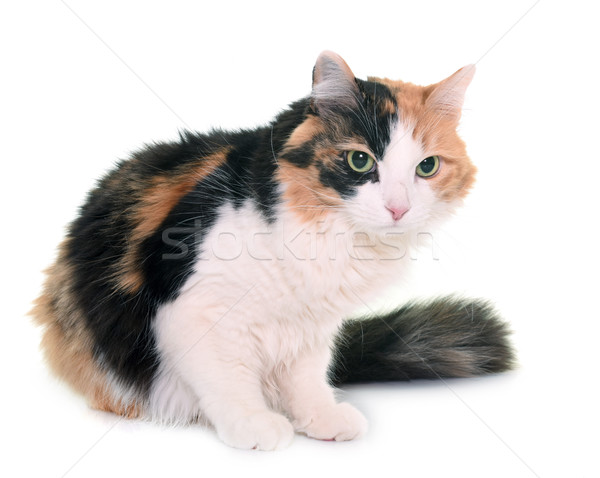 tricolor cat in studio Stock photo © cynoclub