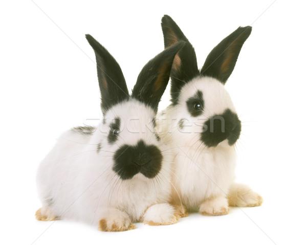 Giovani gigante conigli bianco Foto d'archivio © cynoclub