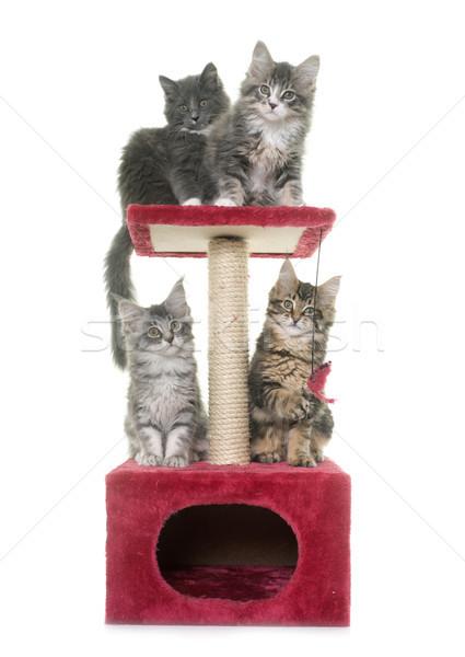 Maine kitten post witte kat dier Stockfoto © cynoclub