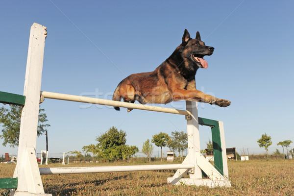 jumping malinois Stock photo © cynoclub