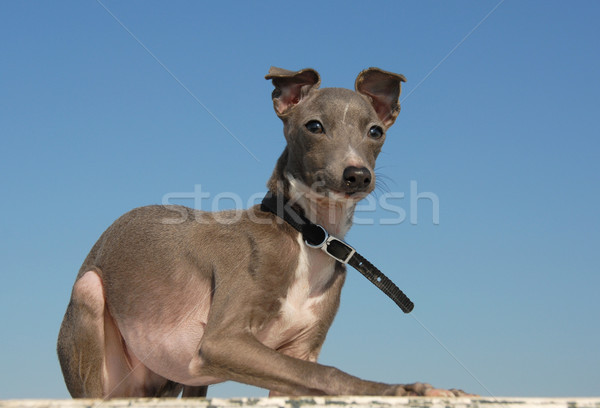 puppy purebred italian greyhound Stock photo © cynoclub