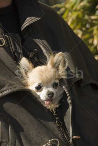 chihuahua in jacket in leather Stock photo © cynoclub