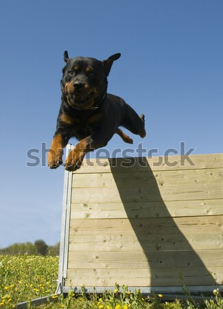 jumping rottweiler Stock photo © cynoclub