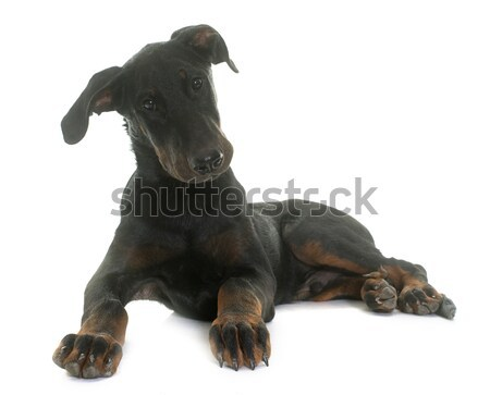 rottweiler and jack russel terrier Stock photo © cynoclub
