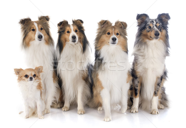 shetland dogs and chihuahua Stock photo © cynoclub