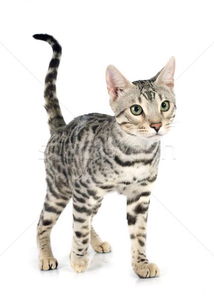 bengal cat Stock photo © cynoclub