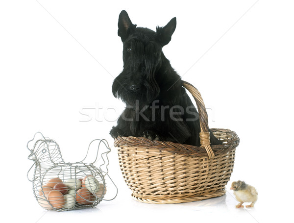 scottish terrier and chicken Stock photo © cynoclub